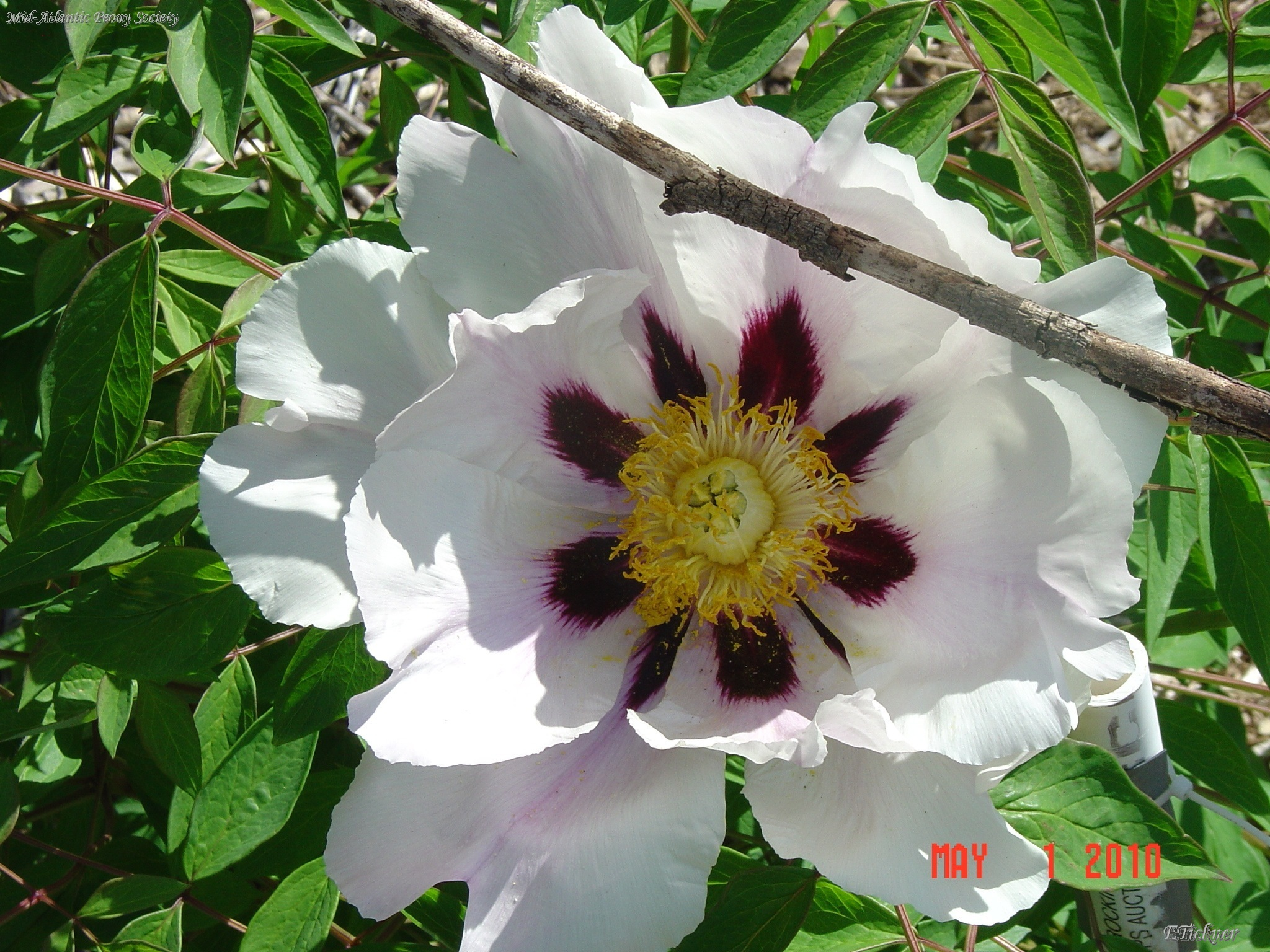 P. rockii sub linyanshani tree peony with a white flower