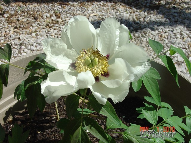 P. rockii tree peony; close-up of flower with early frost damage