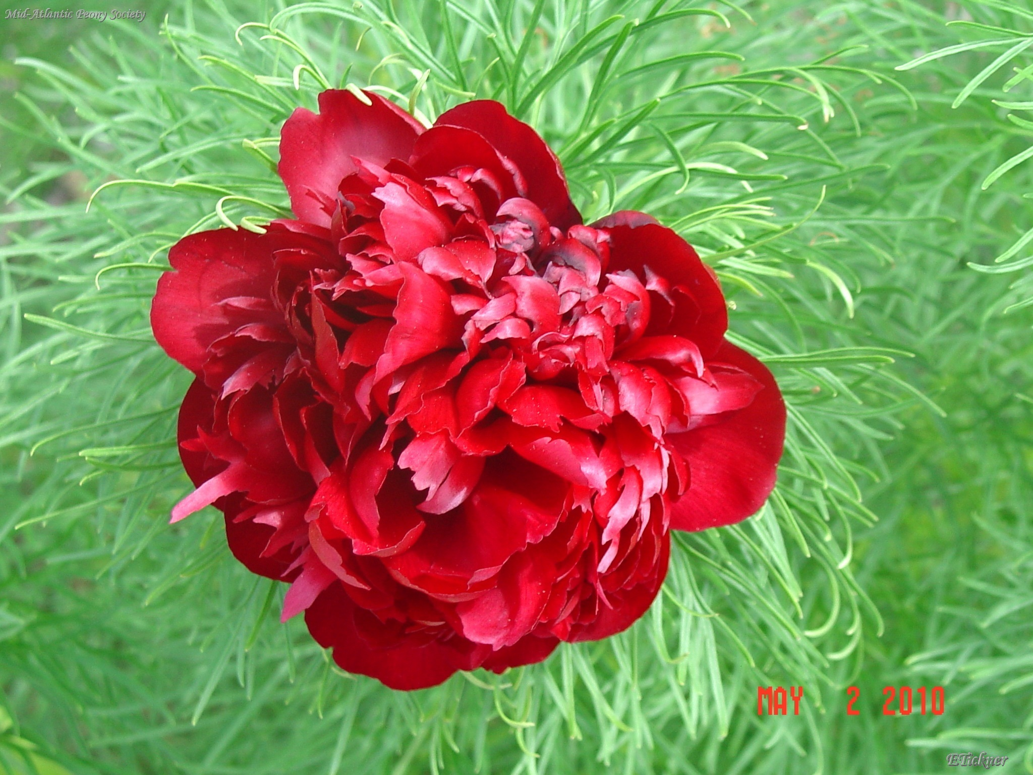 close-up of fernleaf peony bloom