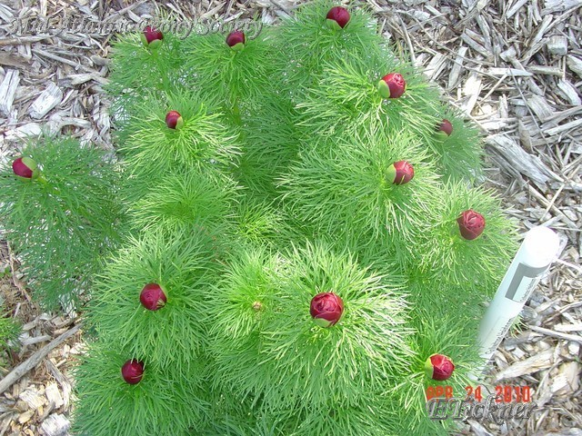 Paeonia tenuifolia in bud - a species peony - commonly sold as a fern leaf peony