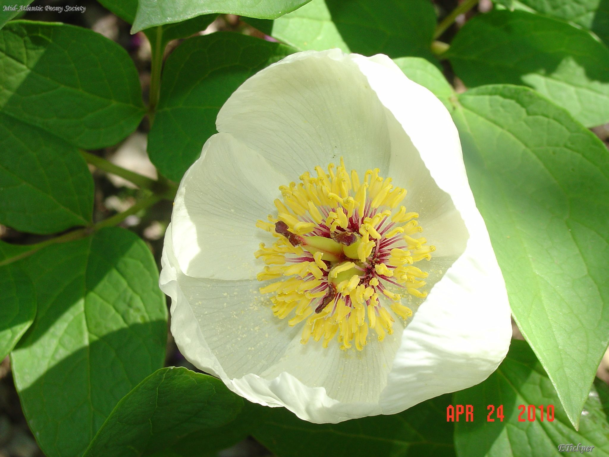 Paeonia obovata,species peony,close-up