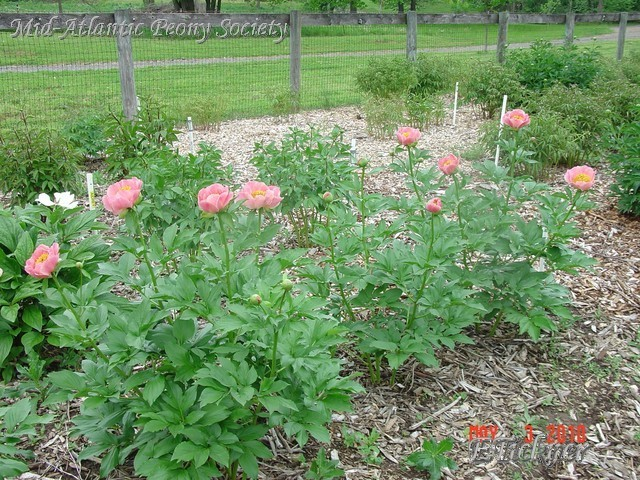 Coral Scout, young plant, few stems, but sturdy.  Parentage includes macrophylla