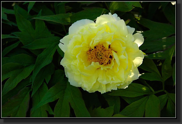 Tree Peony 'High Noon'