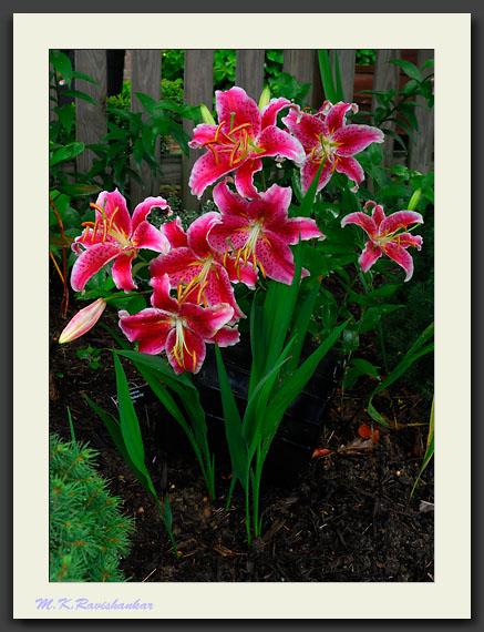 Oriental Lily 'Stargazer'