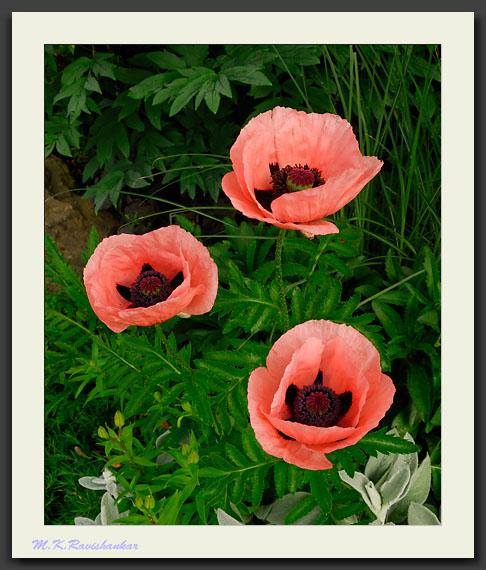 Poppy 'Princess Victoria Louise'