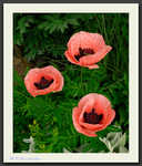 Poppy 'Princess Victoria Louise'