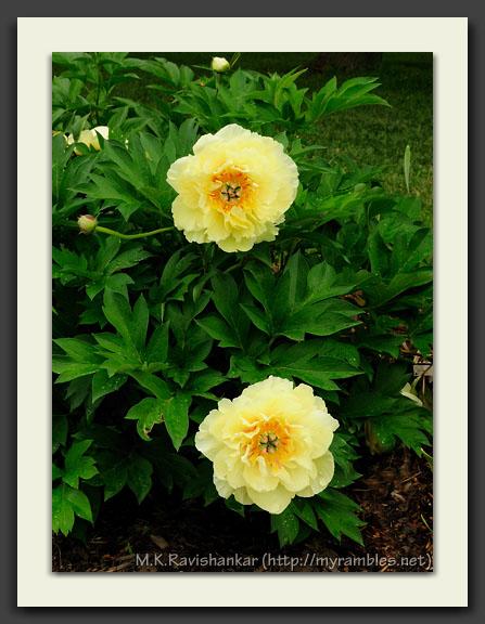 Itoh 'Garden Treasure'